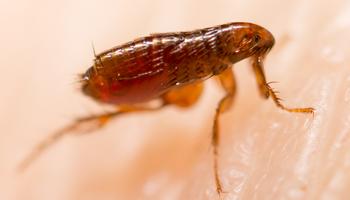 Fleas-Control