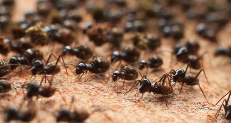 Ant Control & Removal Service in Fort Erie